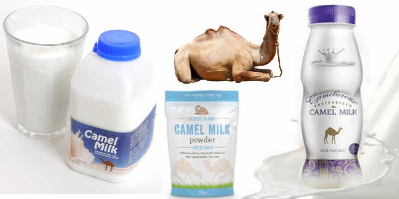 خواص شیر شتر در درمان بیماری ها